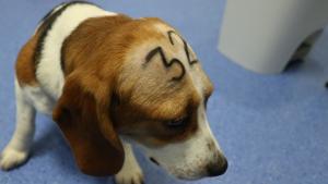 Vivotecnia beagle